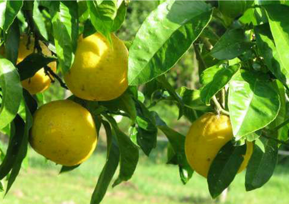 Calabria, the land of citrus fruit