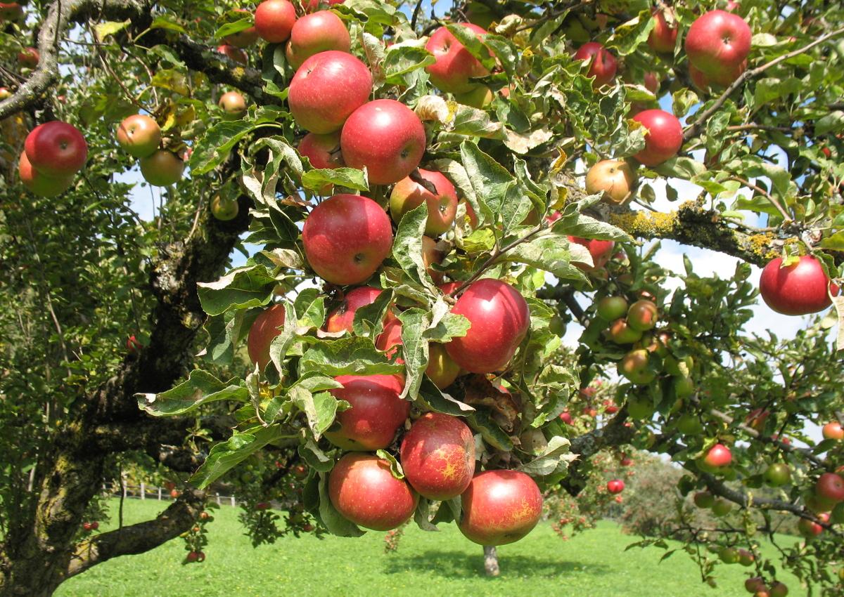Italian apples are ready for Taiwan - ItalianFOOD.net