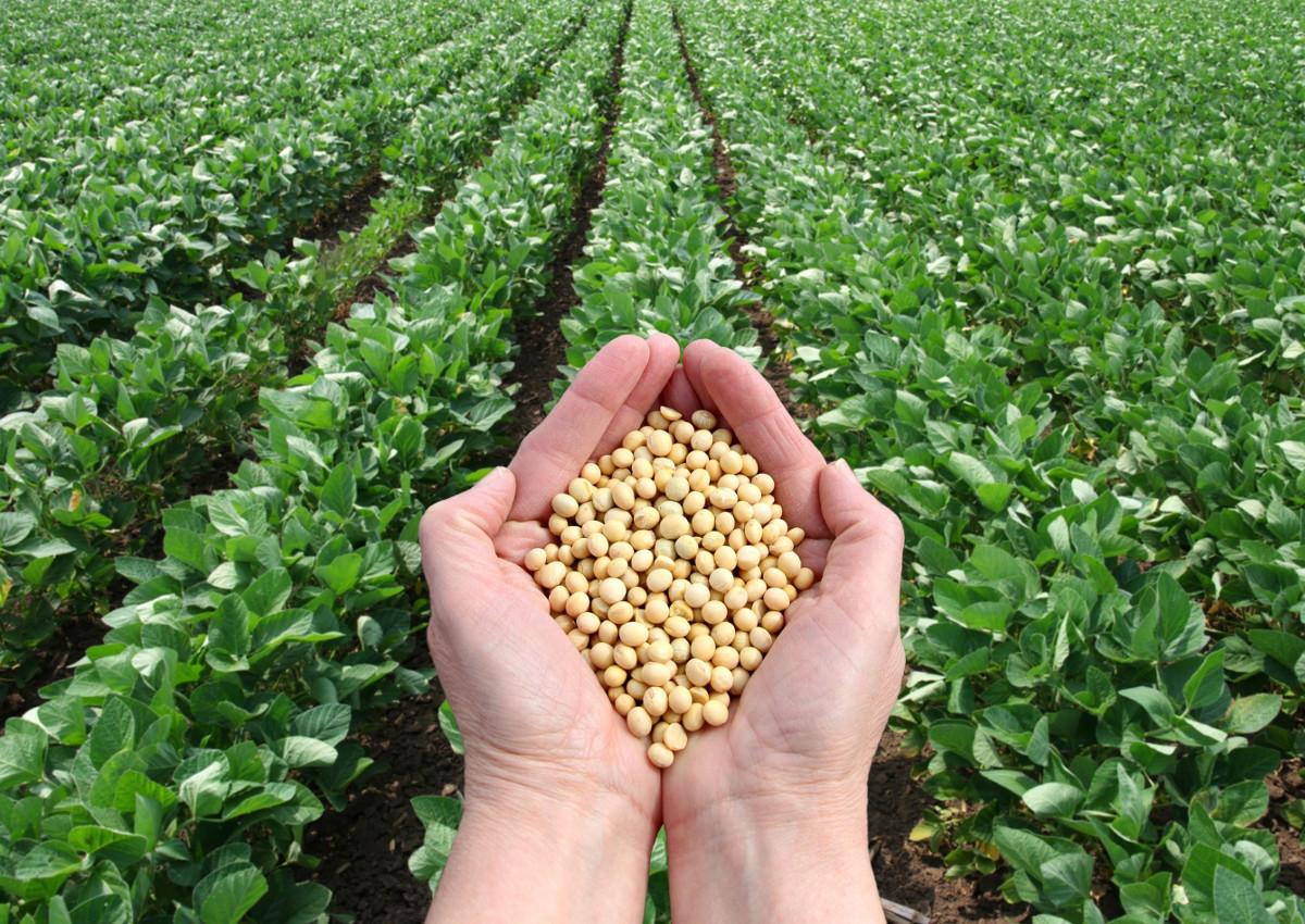 soy-organic-healthy-soybeans-soya