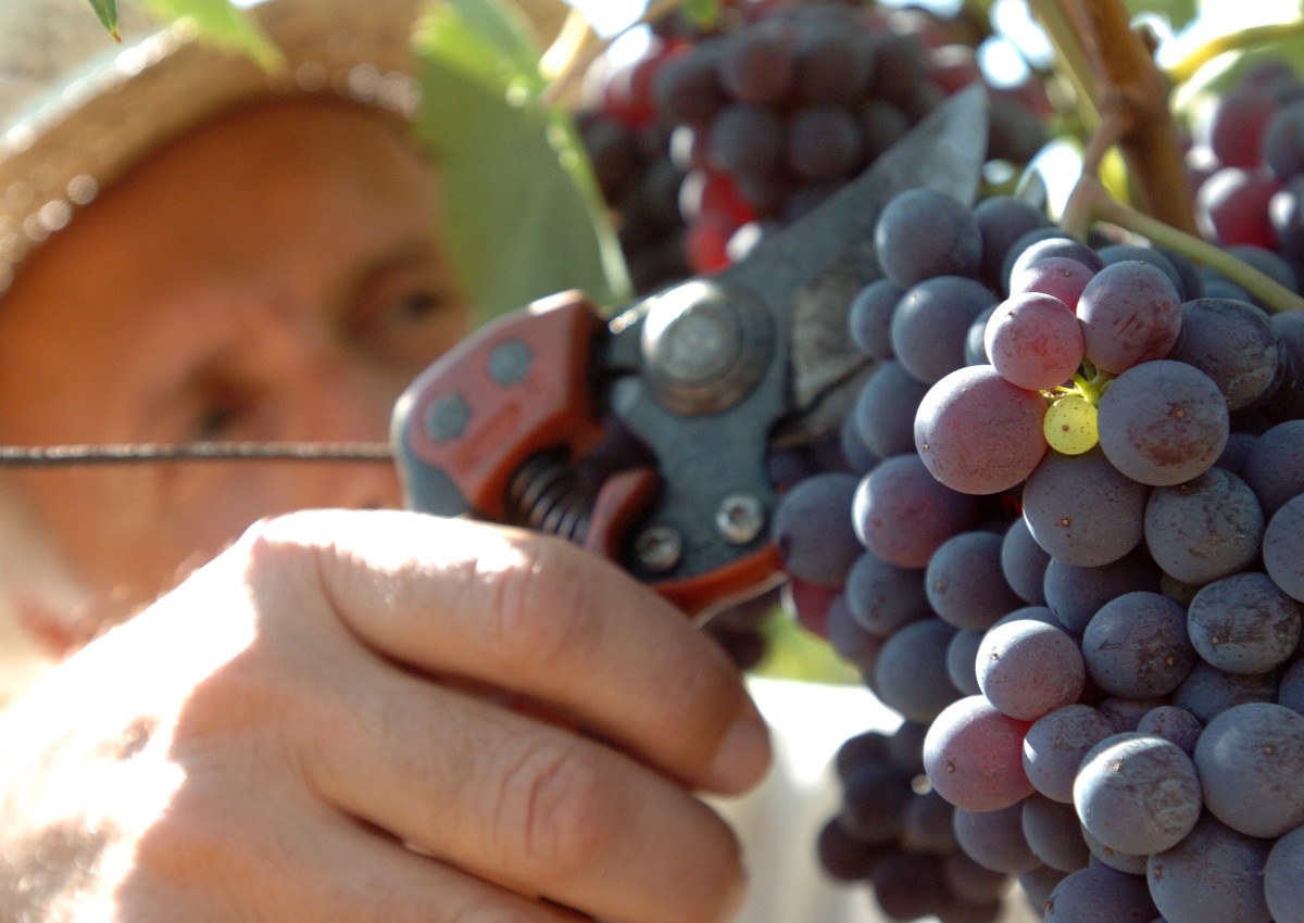 Wine: Italy is once again the world leading producer