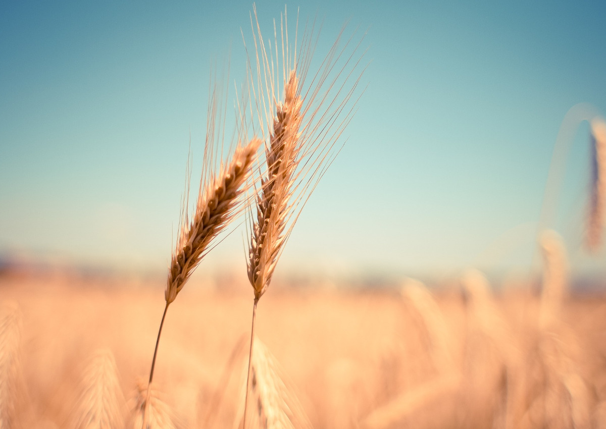 Durum Wheat, Imports into EU Set to Increase