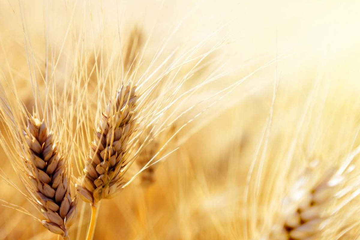 Italian pasta-durum wheat-pasta-wheat